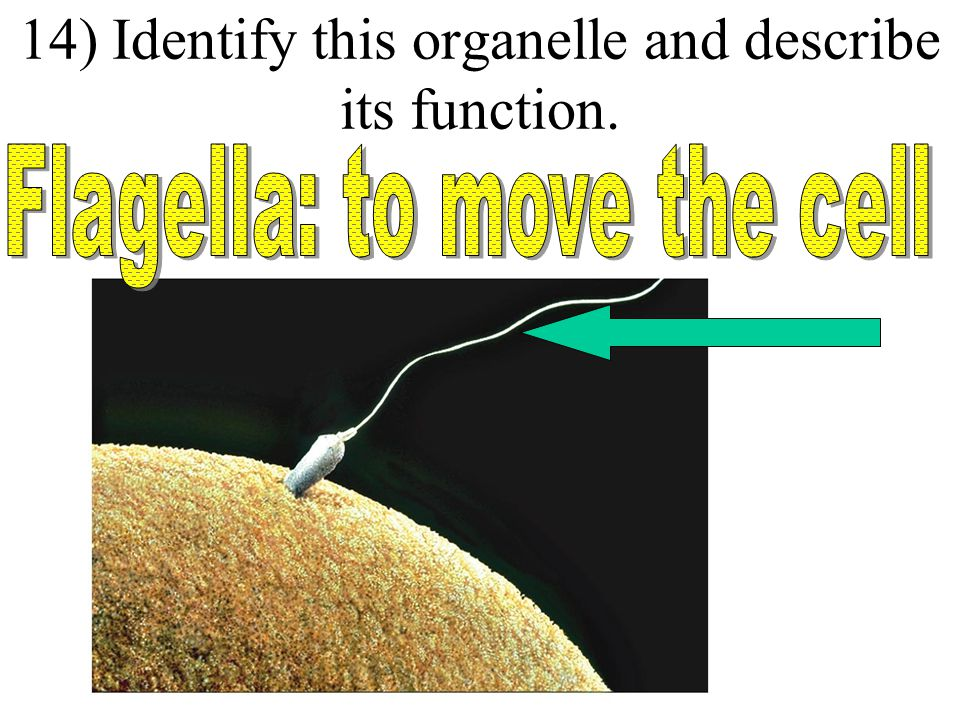 13) Identify this organelle and describe its function.