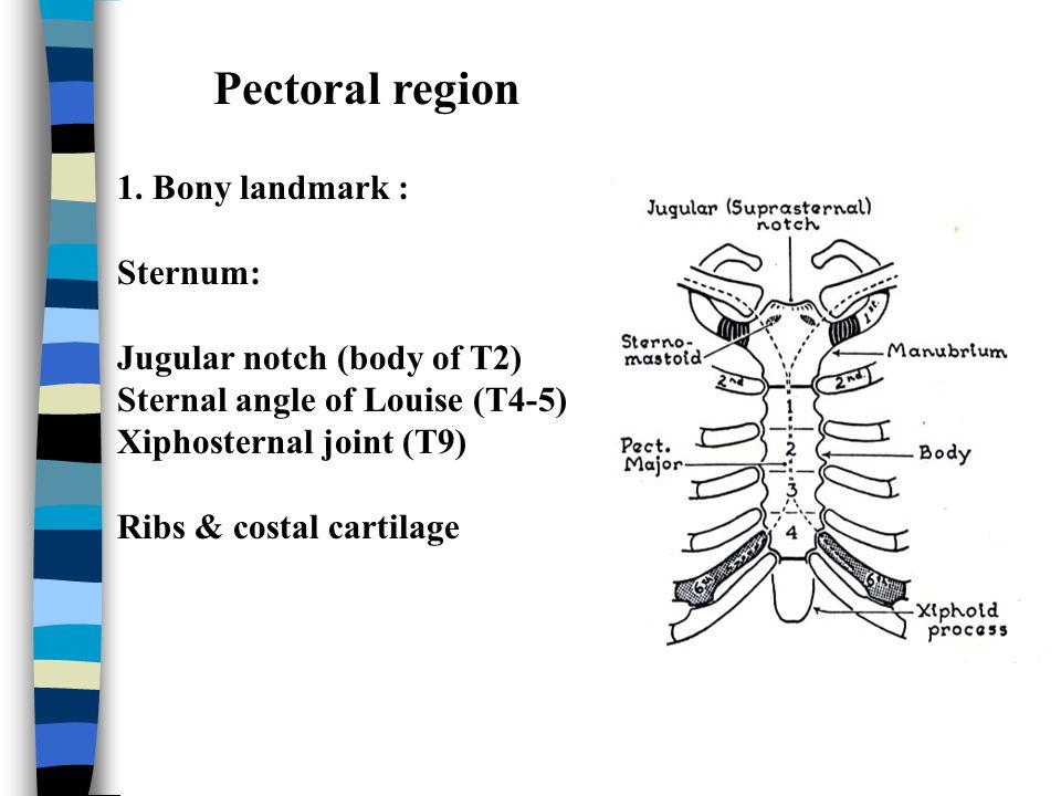 2.Medial cord & branches : - medial head of median n.
