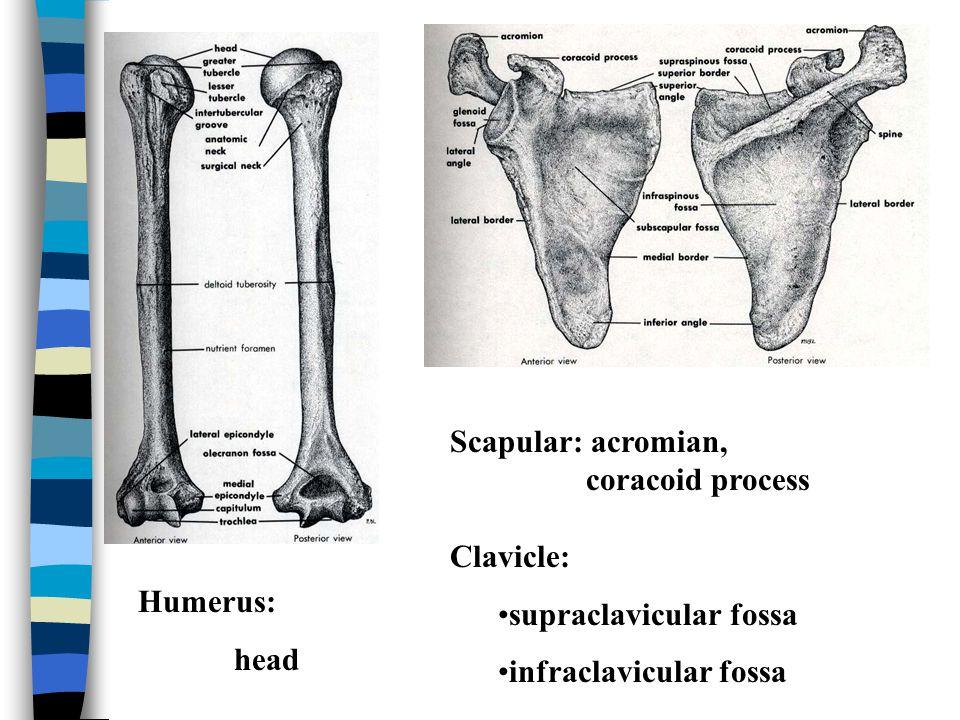 3.Teres Minor O. superior 2/3 lateral border, dorsal surface of scapular I.