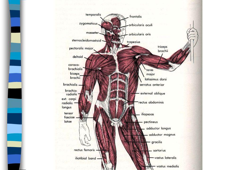 1.Axillary a. & branches Third part : - anterior humeral circumflex a.