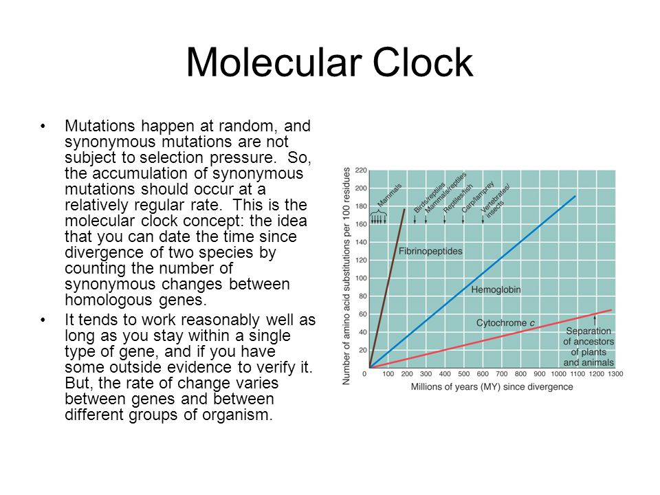 Molecular Clock Mutations happen at random, and synonymous mutations are not subject to selection pressure. So, the accumulation of synonymous mutatio