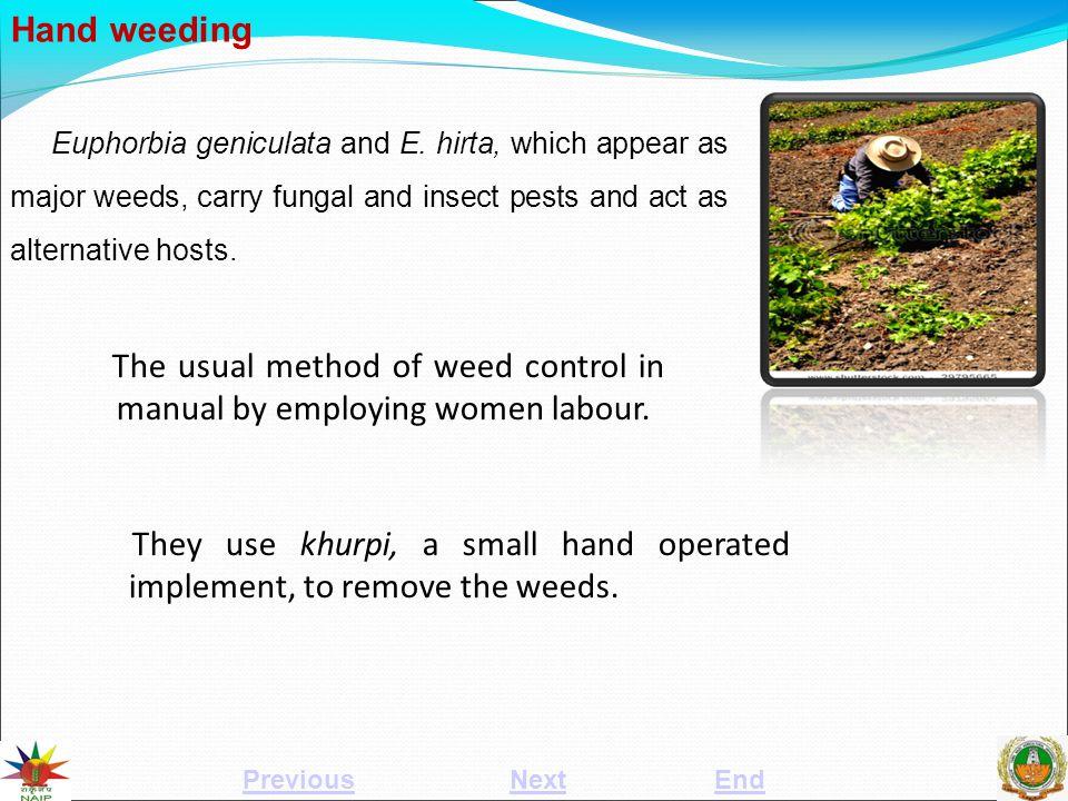 Hand weeding Euphorbia geniculata and E.