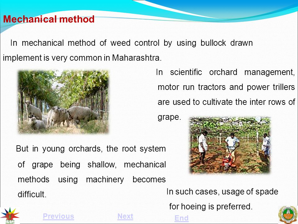 Mechanical method In mechanical method of weed control by using bullock drawn implement is very common in Maharashtra. But in young orchards, the root