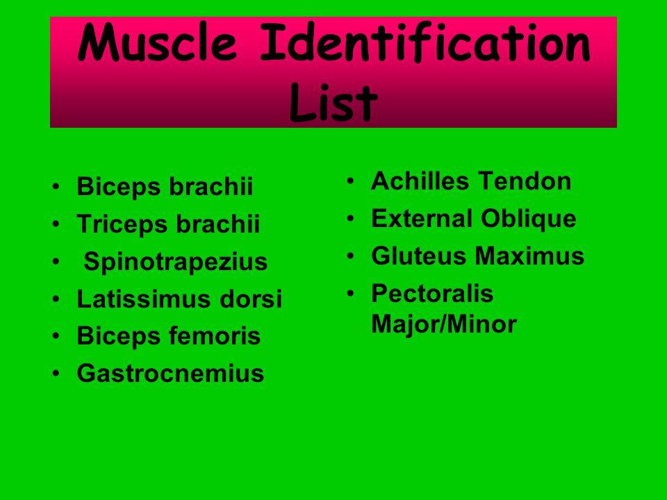 Muscle Identification List Biceps brachii Triceps brachii Spinotrapezius Latissimus dorsi Biceps femoris Gastrocnemius Achilles Tendon External Oblique Gluteus Maximus Pectoralis Major/Minor