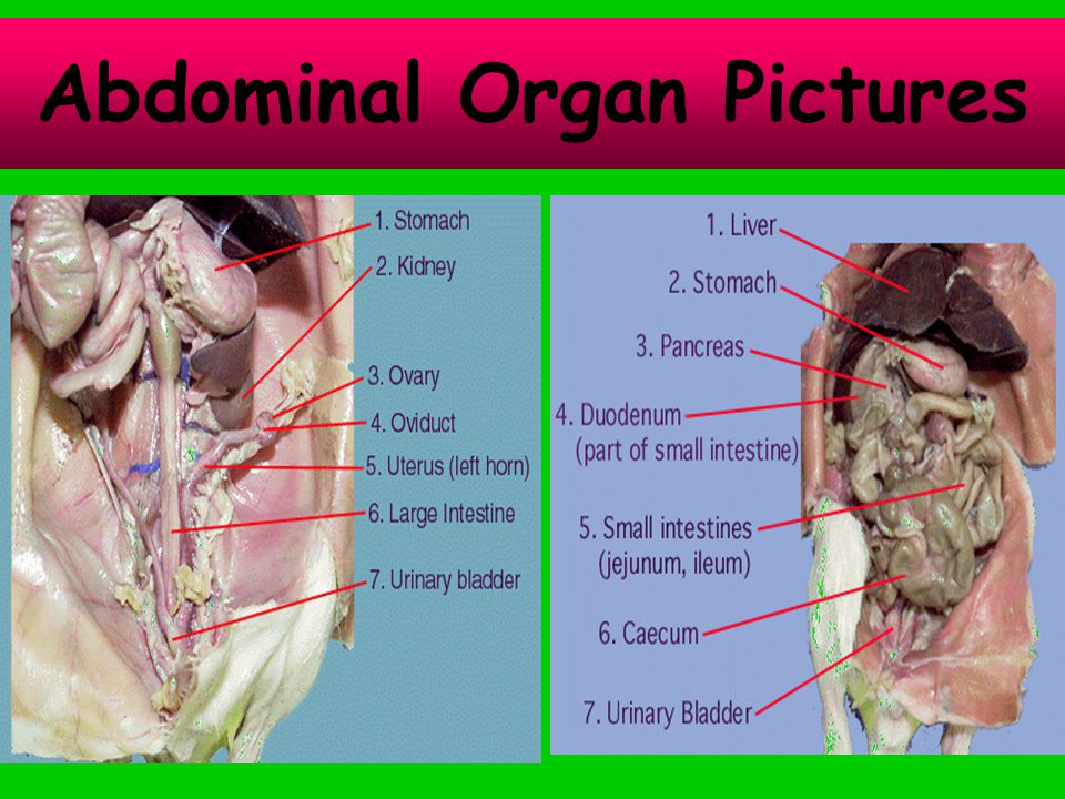 Abdominal Organ Pictures
