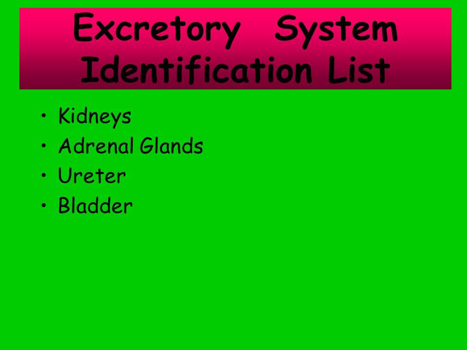 Kidneys Adrenal Glands Ureter Bladder Excretory System Identification List