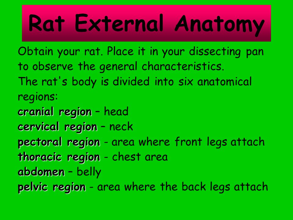 Rat External Anatomy Obtain your rat. Place it in your dissecting pan to observe the general characteristics. The rat's body is divided into six anato