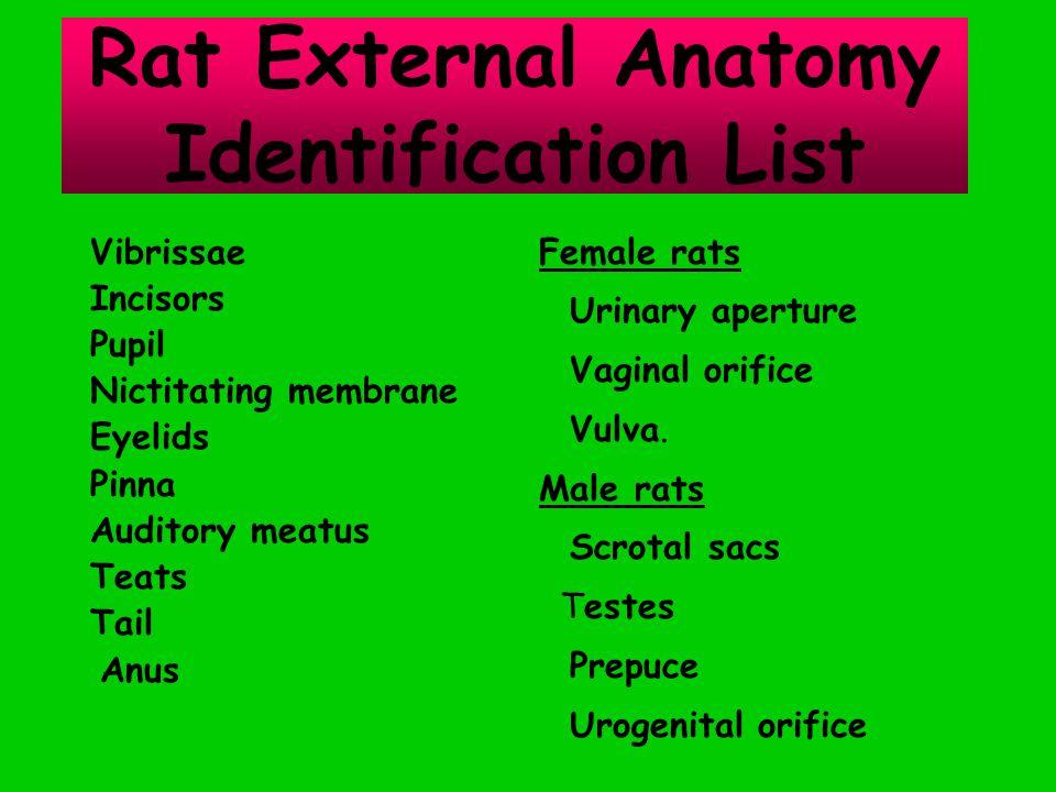 Vibrissae Incisors Pupil Nictitating membrane Eyelids Pinna Auditory meatus Teats Tail Anus Rat External Anatomy Identification List Female rats Urinary aperture Vaginal orifice Vulva.