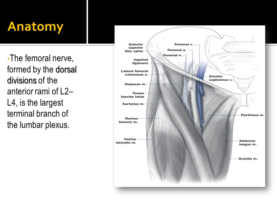 Anatomy dorsal divisions The femoral nerve, formed by the dorsal divisions of the anterior rami of L2– L4, is the largest terminal branch of the lumba