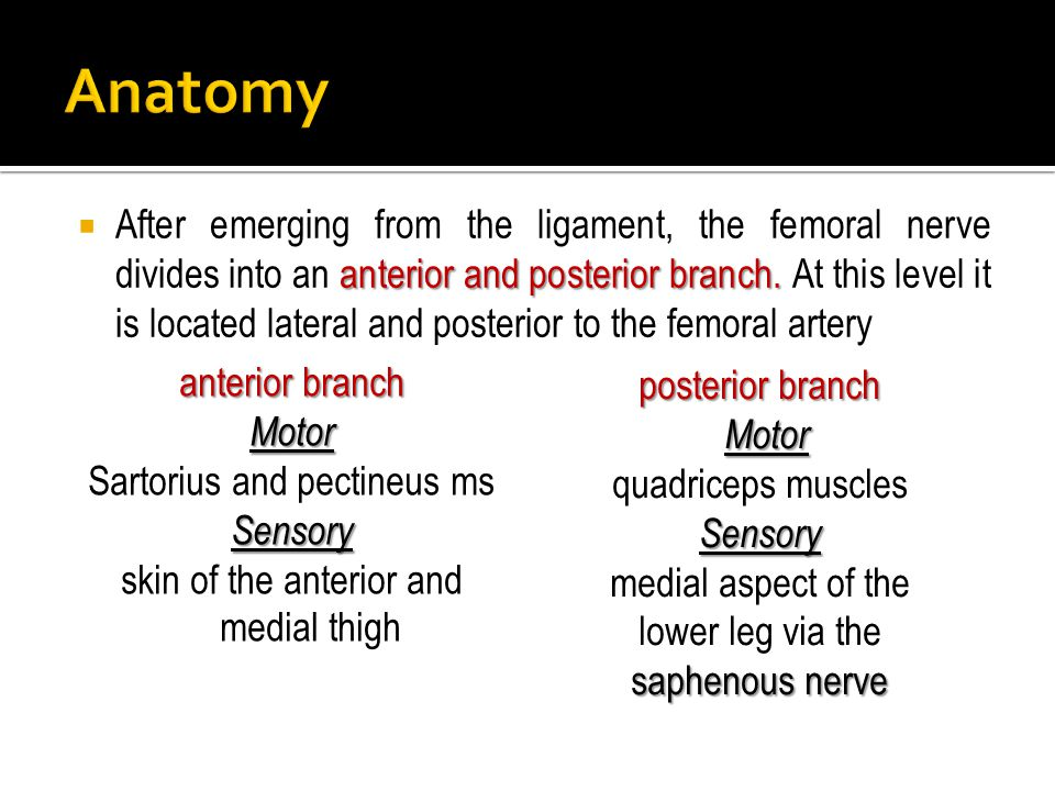 anterior and posterior branch.  After emerging from the ligament, the femoral nerve divides into an anterior and posterior branch. At this level it i