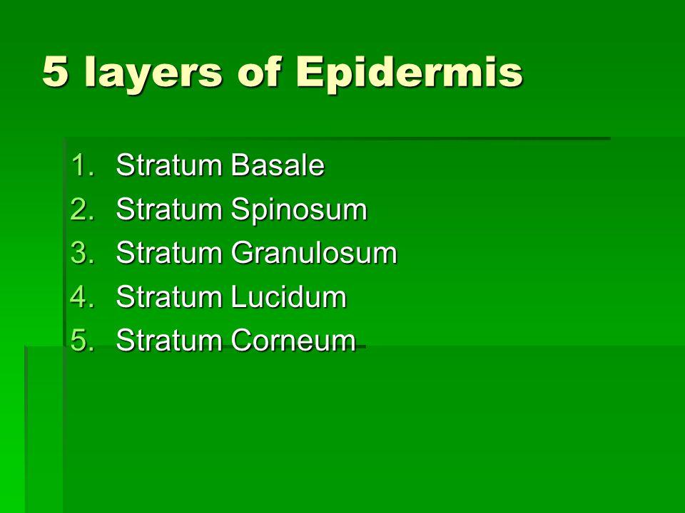 5 layers of Epidermis 1.Stratum Basale 2.Stratum Spinosum 3.Stratum Granulosum 4.Stratum Lucidum 5.Stratum Corneum