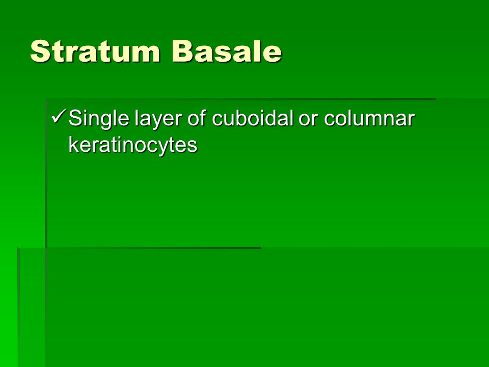 Stratum Basale Single layer of cuboidal or columnar keratinocytes Single layer of cuboidal or columnar keratinocytes