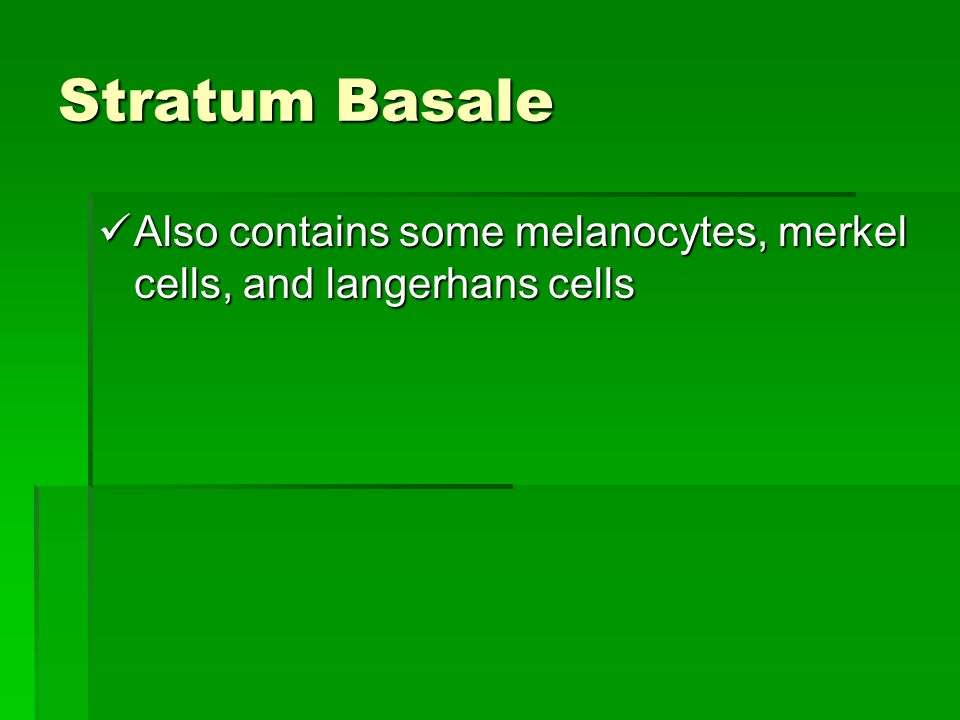 Stratum Basale Also contains some melanocytes, merkel cells, and langerhans cells Also contains some melanocytes, merkel cells, and langerhans cells