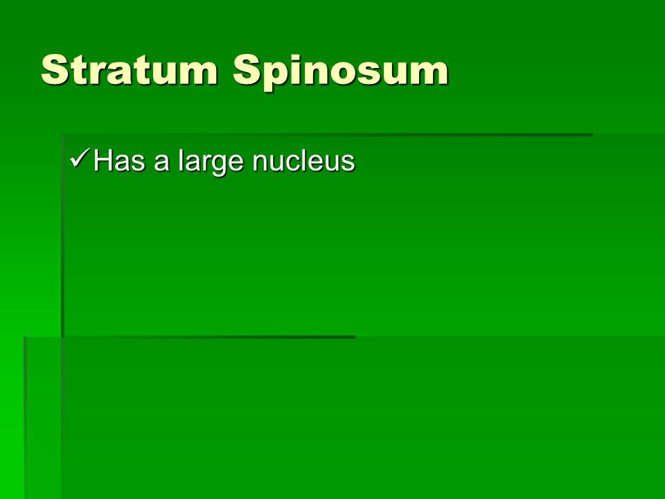 Stratum Spinosum Has a large nucleus Has a large nucleus