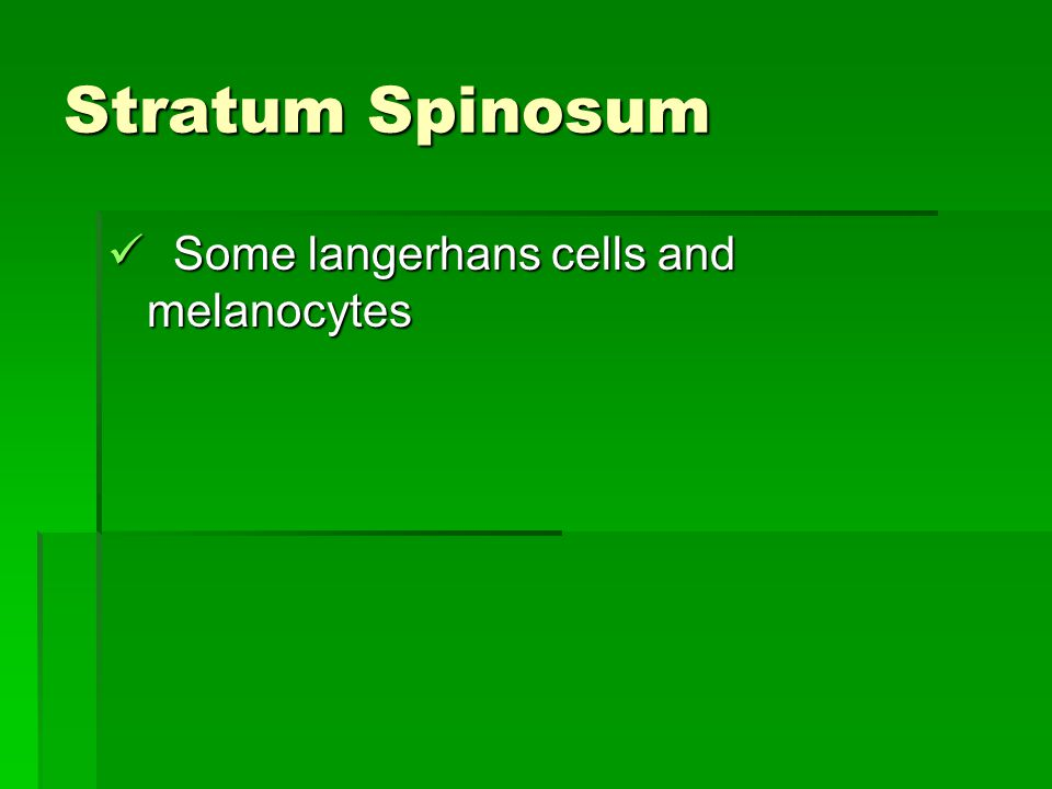 Stratum Spinosum Some langerhans cells and melanocytes Some langerhans cells and melanocytes