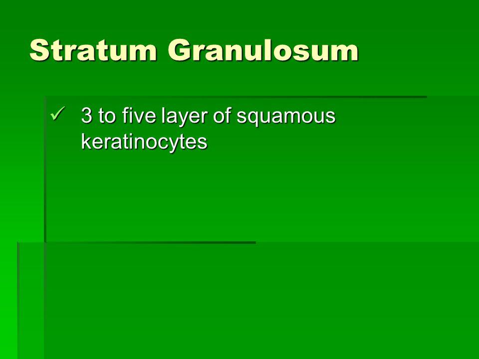 Stratum Granulosum 3 to five layer of squamous keratinocytes 3 to five layer of squamous keratinocytes