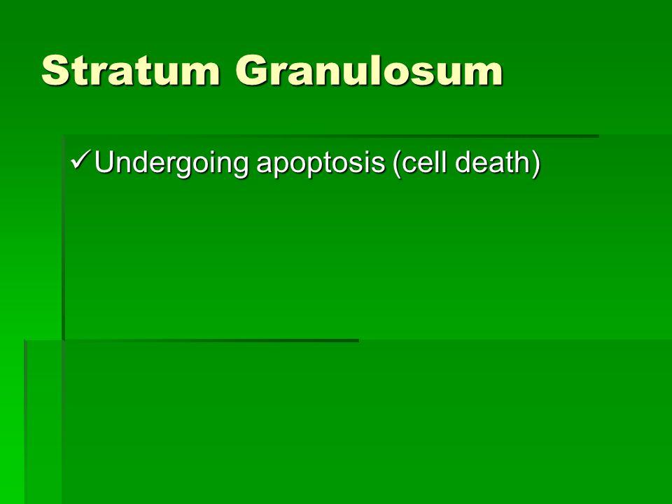 Stratum Granulosum Undergoing apoptosis (cell death) Undergoing apoptosis (cell death)