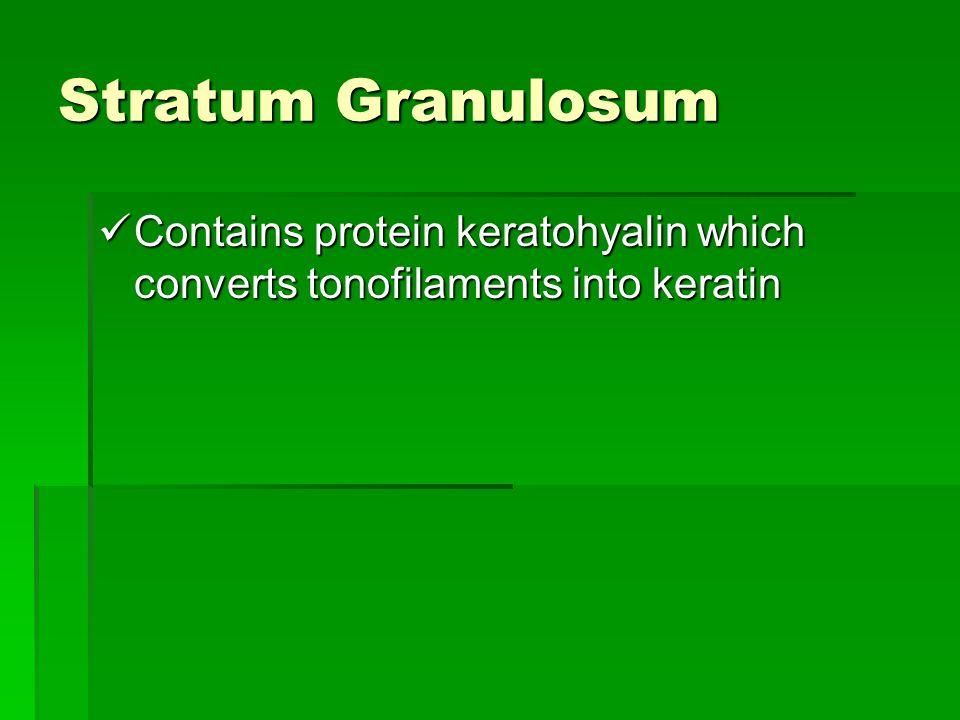 Stratum Granulosum Contains protein keratohyalin which converts tonofilaments into keratin Contains protein keratohyalin which converts tonofilaments