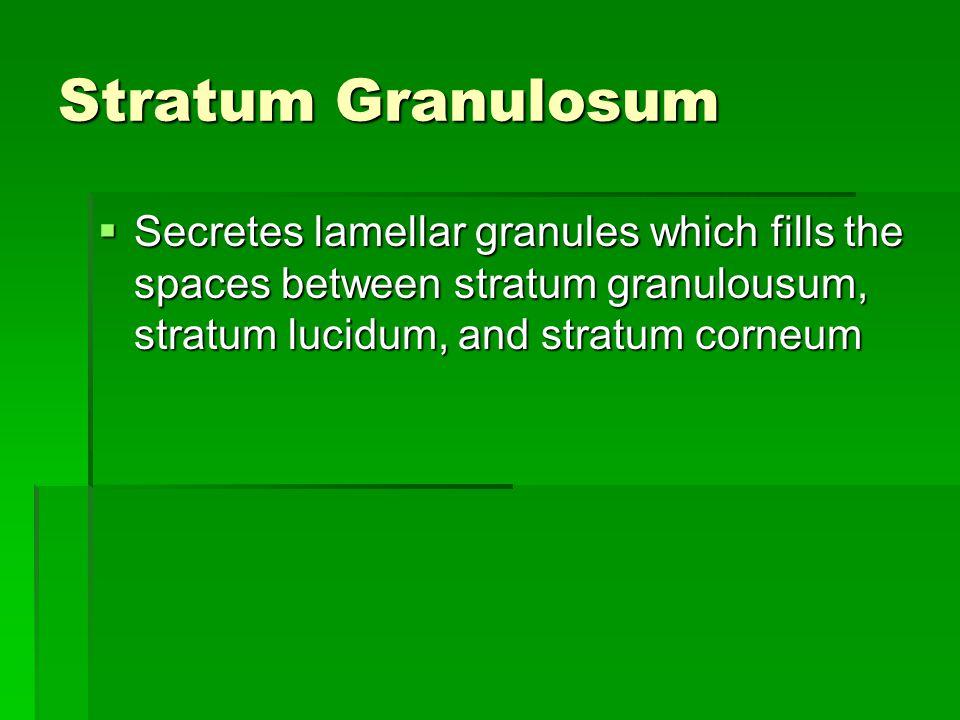 Stratum Granulosum  Secretes lamellar granules which fills the spaces between stratum granulousum, stratum lucidum, and stratum corneum