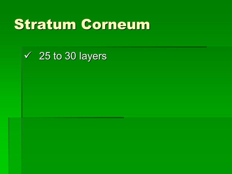 Stratum Corneum 25 to 30 layers 25 to 30 layers