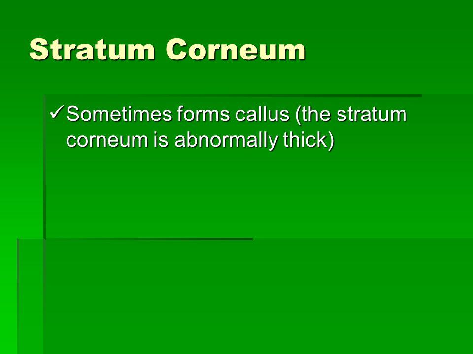 Stratum Corneum Sometimes forms callus (the stratum corneum is abnormally thick) Sometimes forms callus (the stratum corneum is abnormally thick)