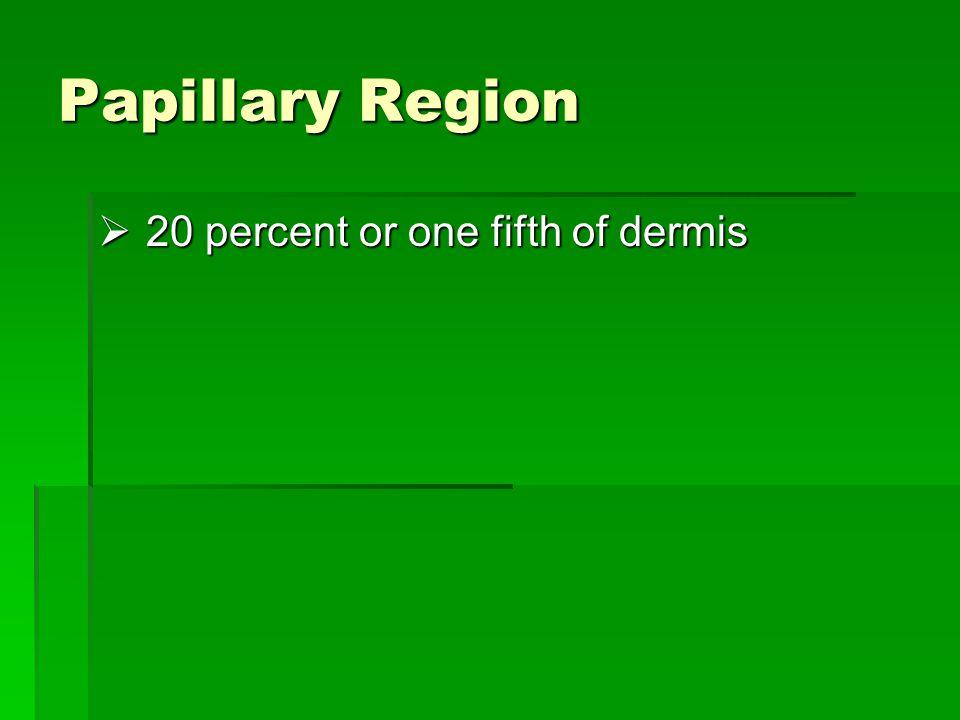 Papillary Region  20 percent or one fifth of dermis