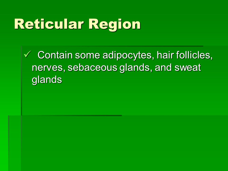 Reticular Region Contain some adipocytes, hair follicles, nerves, sebaceous glands, and sweat glands Contain some adipocytes, hair follicles, nerves,