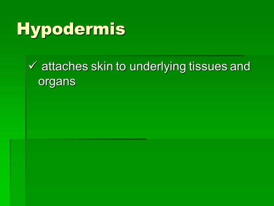 Hypodermis attaches skin to underlying tissues and organs attaches skin to underlying tissues and organs
