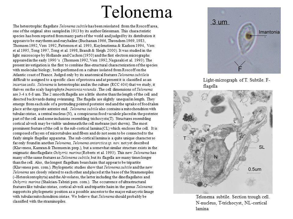 Telonema Telonema subtile. Section trough cell.