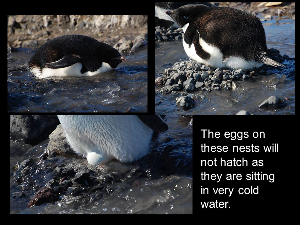 The eggs on these nests will not hatch as they are sitting in very cold water.