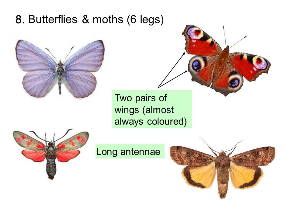 8. Butterflies & moths (6 legs) Long antennae Two pairs of wings (almost always coloured) 8.