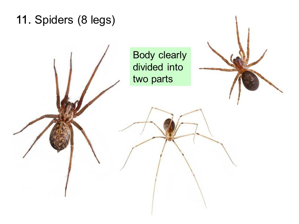 11. Spiders (8 legs) Body clearly divided into two parts 11.