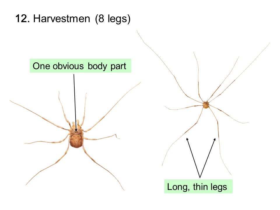 12. Harvestmen (8 legs) Long, thin legs One obvious body part 12.