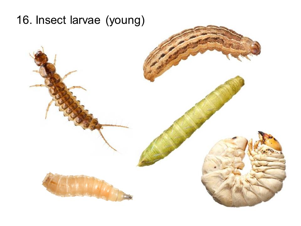 16. Insect larvae (young)