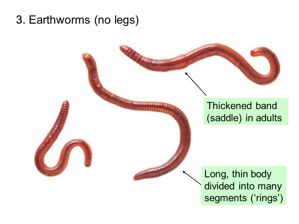 3. Earthworms (no legs)3.