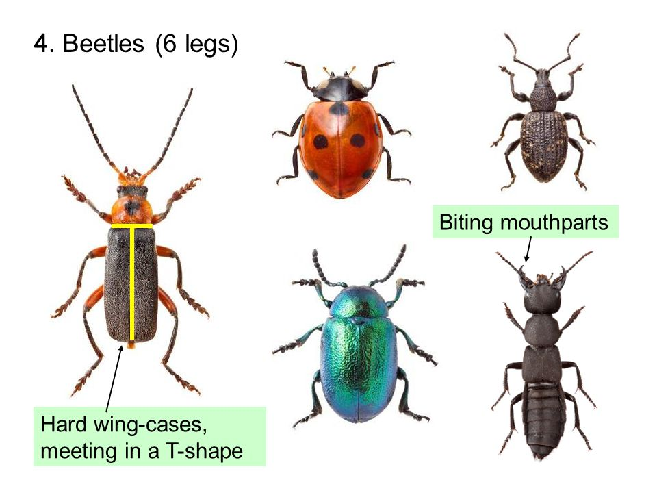 15. Millipedes (>8 legs) Two pairs of legs per body segment Body divided into many segments