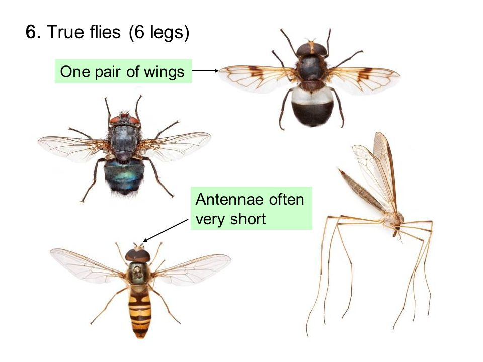 7.Bees, wasps & ants (6 legs) Long antennae 7.