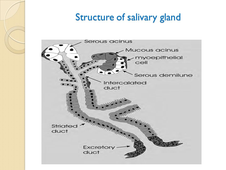 Structure of salivary gland