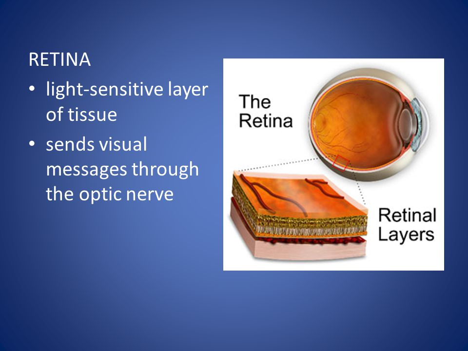 RETINA light-sensitive layer of tissue sends visual messages through the optic nerve