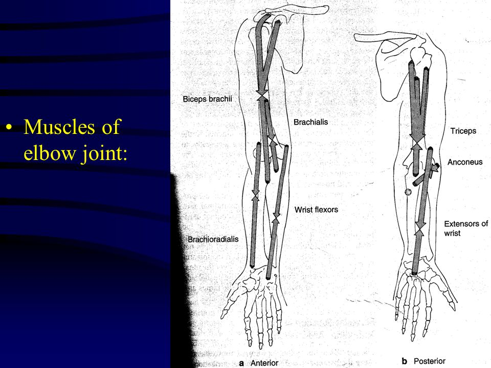 Muscles of elbow joint: