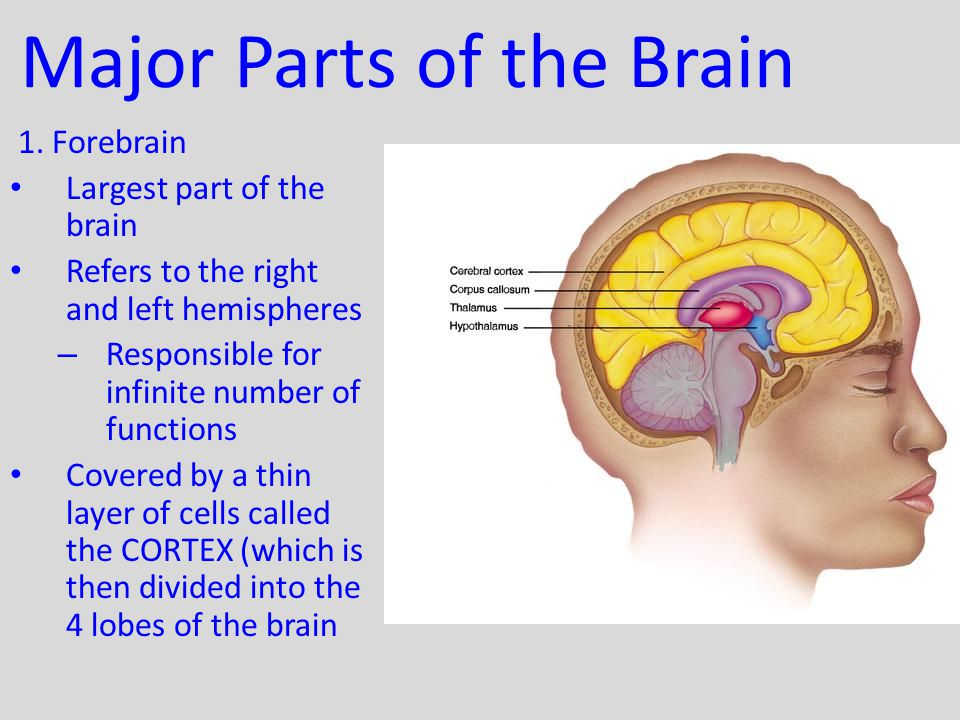 Major Parts of the Brain 1. Forebrain Largest part of the brain Refers to the right and left hemispheres – Responsible for infinite number of function