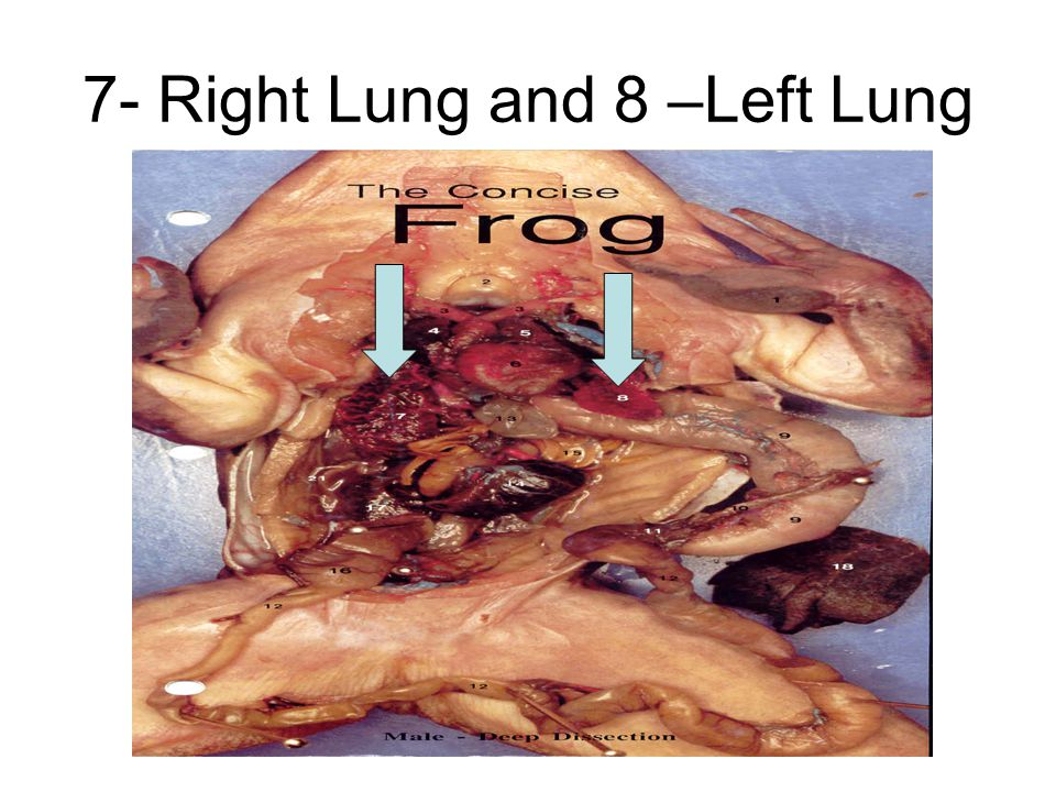 7- Right Lung and 8 –Left Lung