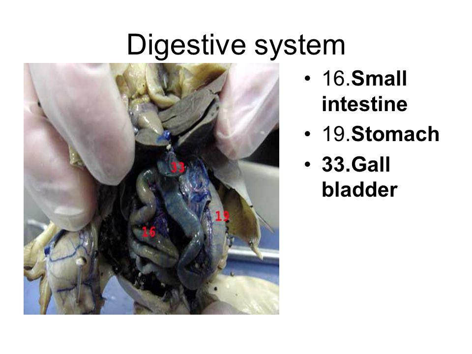 Digestive system 16.Small intestine 19.Stomach 33.Gall bladder