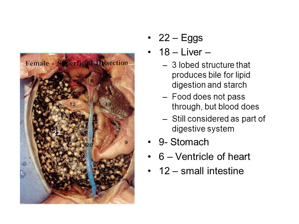 22 – Eggs 18 – Liver – –3 lobed structure that produces bile for lipid digestion and starch –Food does not pass through, but blood does –Still conside