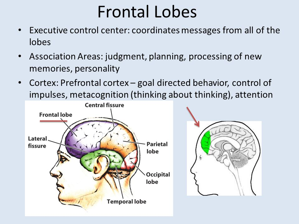 Frontal Lobes Executive control center: coordinates messages from all of the lobes Association Areas: judgment, planning, processing of new memories,