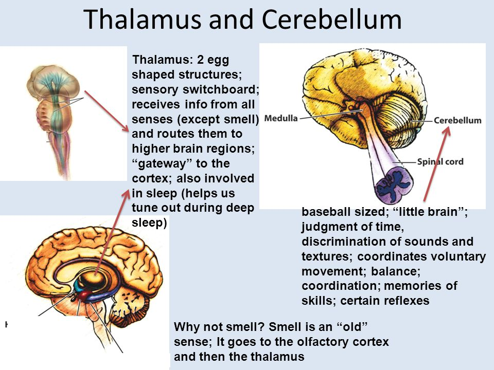 Thalamus and Cerebellum Thalamus: 2 egg shaped structures; sensory switchboard; receives info from all senses (except smell) and routes them to higher