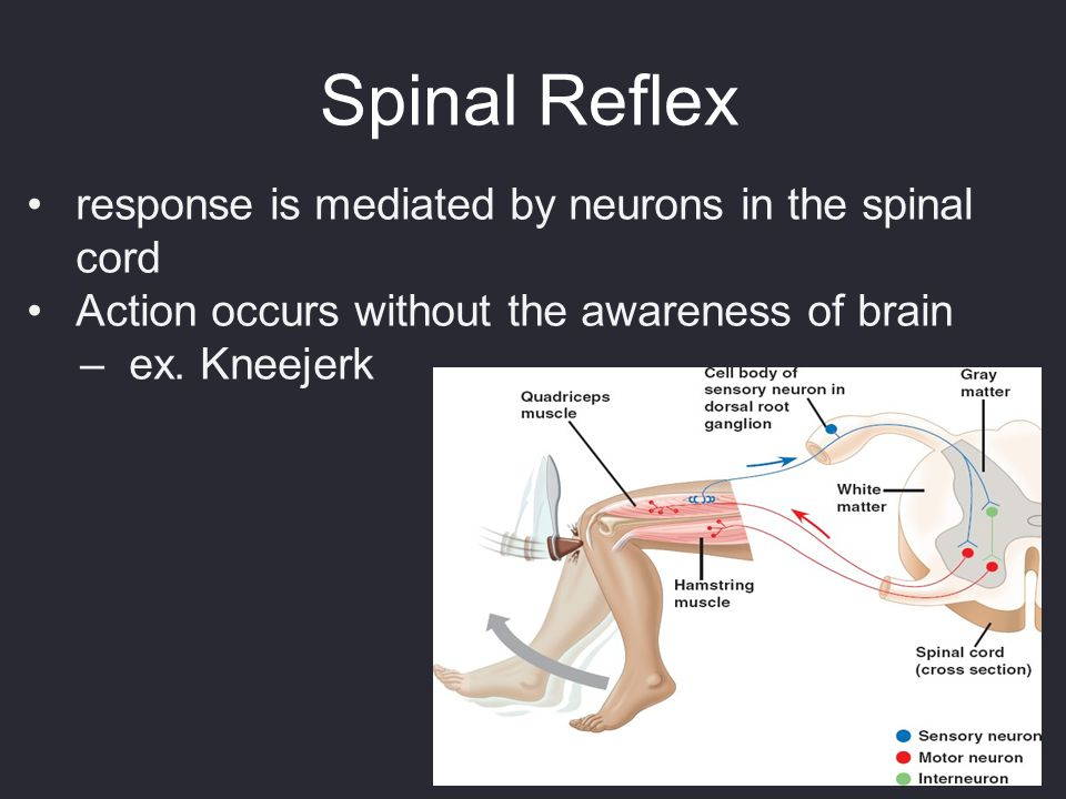 Spinal Reflex response is mediated by neurons in the spinal cord Action occurs without the awareness of brain –ex. Kneejerk