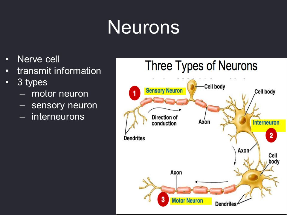 Neurons Nerve cell transmit information 3 types –motor neuron –sensory neuron –interneurons
