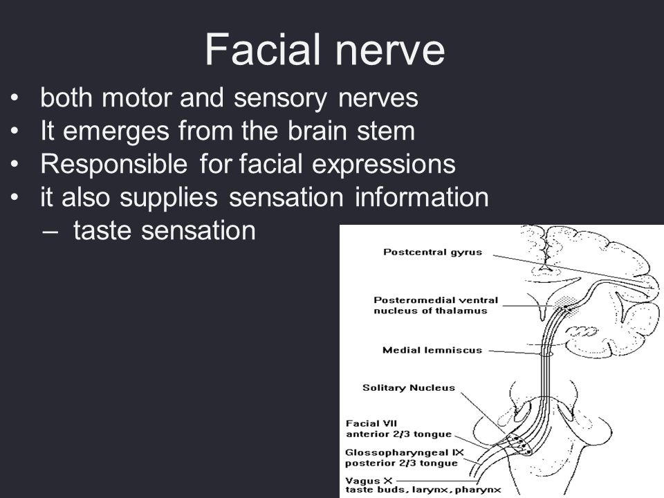 Facial nerve both motor and sensory nerves It emerges from the brain stem Responsible for facial expressions it also supplies sensation information –t
