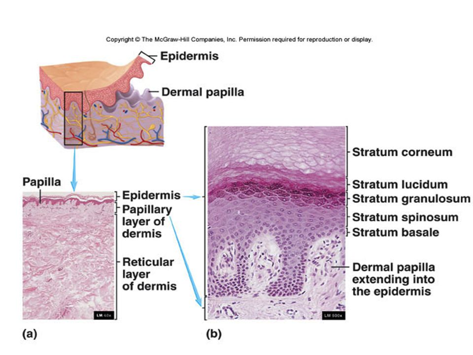 Dermis - Structure  Papillary region - upper layer - 20%  Areolar connective tissue  Reticular region - 80%  Underneath the papillary layer  Dense irregular connective tissue  Fibers tolerate limited stretching; stretch marks can appear